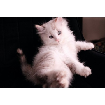 DO ODBIORU RAGDOLL kotki koty z rodowodem ragdol
