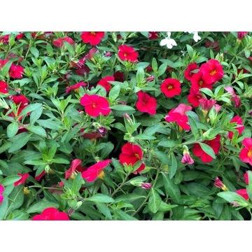 Millin  bells czerwony,duża sadzonka