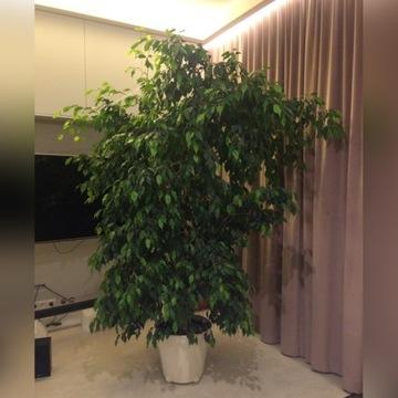 Kwiat doniczkowy Fikus Benjamin, duży i rozłożysty