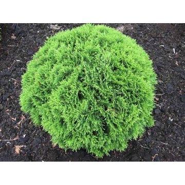 Tuja Danica zielona kula 15-20cm średnica