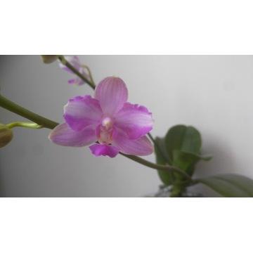 Phalaenopsis Mozart