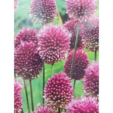 Allium Shearocephalon Czosnek Główkowaty Cebulka