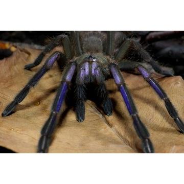 Ptasznik Chilobrachys sp. Electric Blue SAMICA 2,5