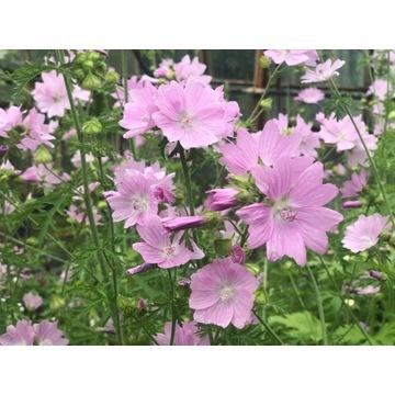 Malwa Moschata, Ślaz piżmowy,kolor lila