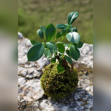 Kokedama - bonsai