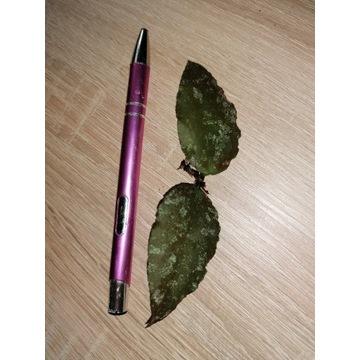Hoya Caudata Sumatra