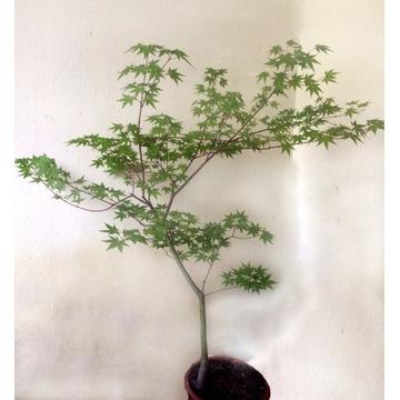 Drzewko Bonsai klon palmowy