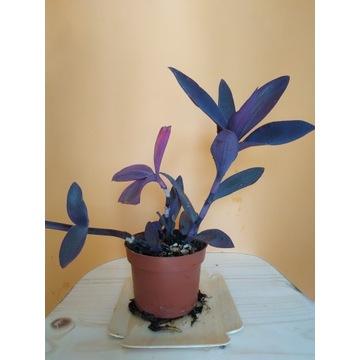 Kwiatek. Tradescantia pallida Purple Heart