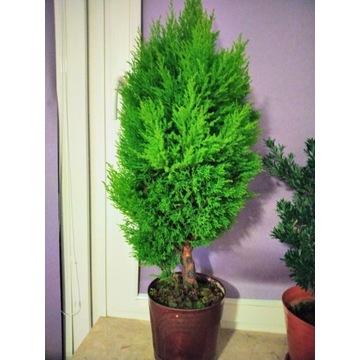 Cyprys wielkoszyszkowy bonsai
