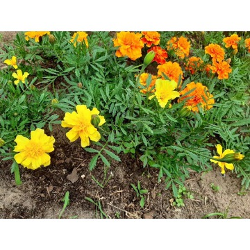 Aksamitki żółte i bordowe jadalne kwiaty do ogrodu