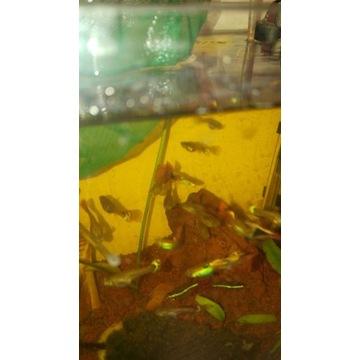 Ryby Gupiki różne wielkości