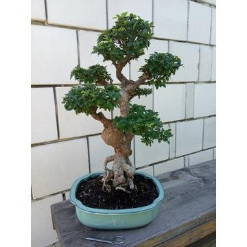 Drzewko Bonsai Wiąz Drobnolistny