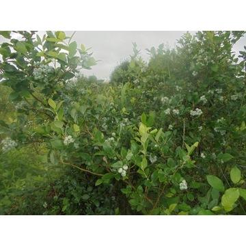 Krzewy  borówki amerykańskiej 10 letnie na planta