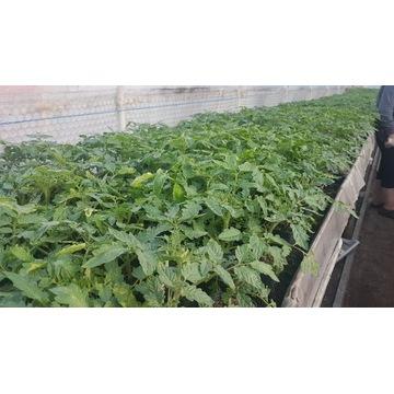 Pomidor holenderski szklarniowy Robin - sadzonki