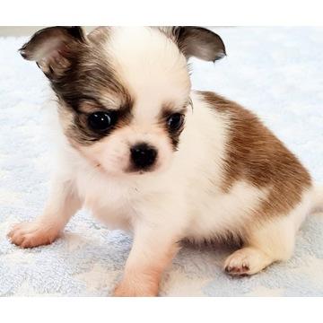 Chihuahua długowłosy zkwp fci