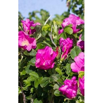 Róża japońska fałdzistnollistna