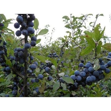 Tarnina owoce świeże z Bieszczad