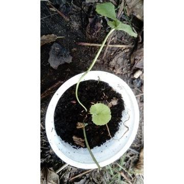 gotu kola wąkrota azjatycka sadzonka żywa roslina