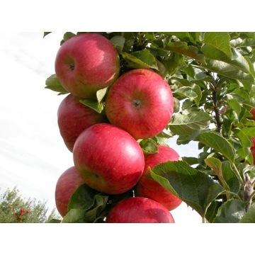 Jabłoń RAJKA sadzonka z ceryfikatem EKO