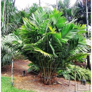 Palma salak (Salaca Edulis)