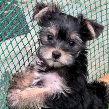 York pies Yorkshire terrier szczeniaki z rodowodem