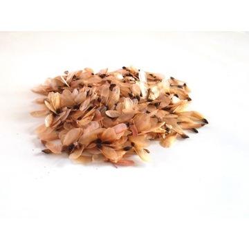 Świerk pospolity nasiona