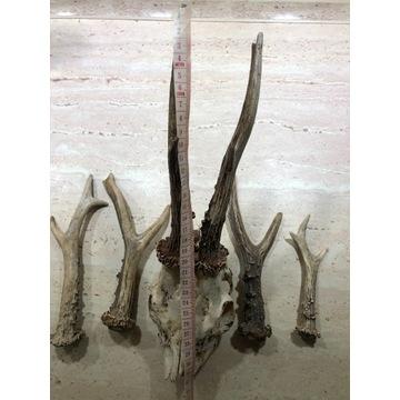 Parostek parostki kozioł kozioł poroże  czaszka