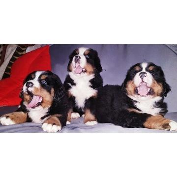 SZCZENIAKI !!! Berneński Pies Pasterski