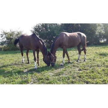 Koń  klacz wałach para żrebak