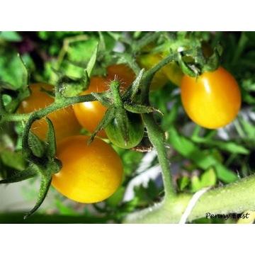 Pomidor Złoty Ożarowski-sadzonki doniczkowe