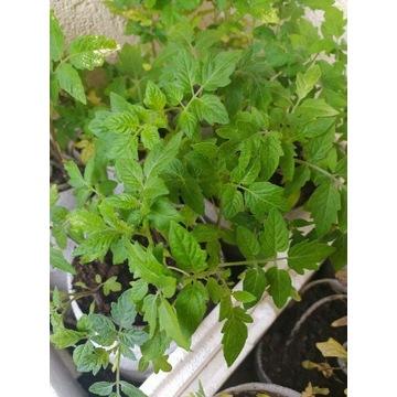 Sadzonki pomidora zestaw rożnych odmian