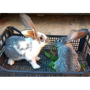 Króliki królik ekologiczne