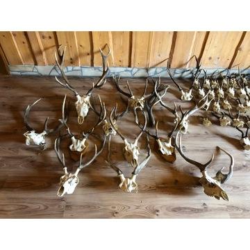 poroże z czaszką jelenia, 11szt, 70-90cm