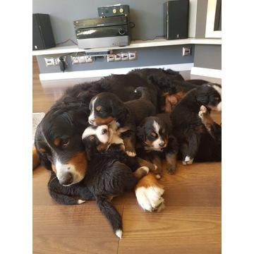 Berneński Pies Pasterski -rezerwacja szczeniąt