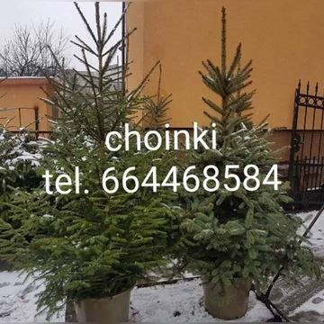 Choinki żywe bożonarodzeniowe cięte i w doniczkach
