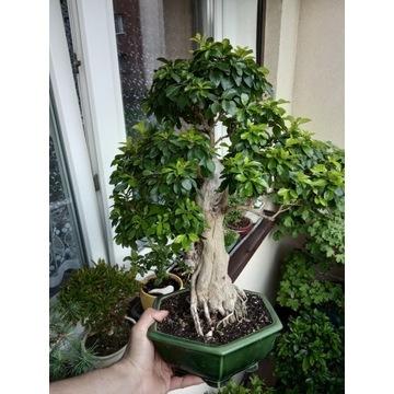 Drzewko Bonsai Duranta