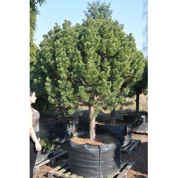 "Pinus mugo ""Mops"""