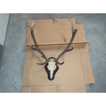 Poroże jelenia duże Okazja