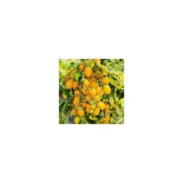 Pomidor KOKTAJLOWY ŻÓŁTY- sadzonki doniczkowe
