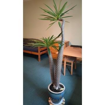 Palma Madagaskaru Pachypodium Lamerei sukulent