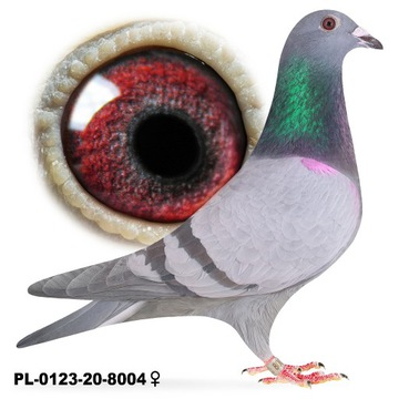 Samica ruda 2020 gołąb gołębie pocztowe lotowa