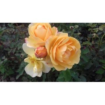 róża  parkowa 120 cm Producent!!!!