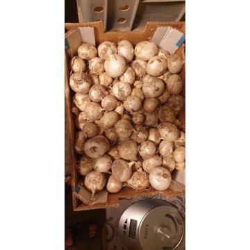 Czosnek słoniowy cebulka 100 g