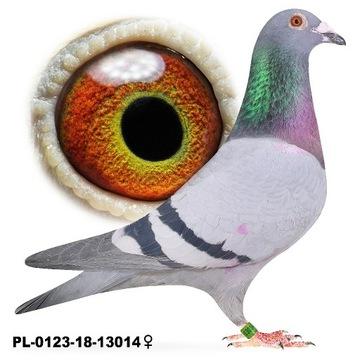 Samica Niebieska 2018 gołąb gołębie pocztowe