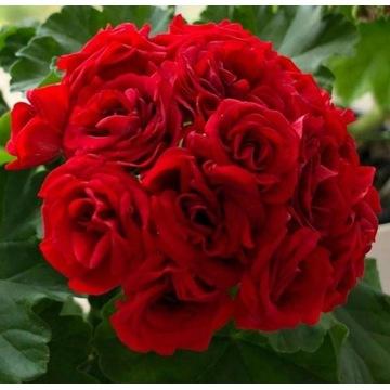 Pelargonia  Scarlet Rambler