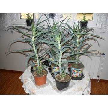 Aloes Drzewiasty Leczniczy 9x MAŁY 1,5-2kg 60-70cm