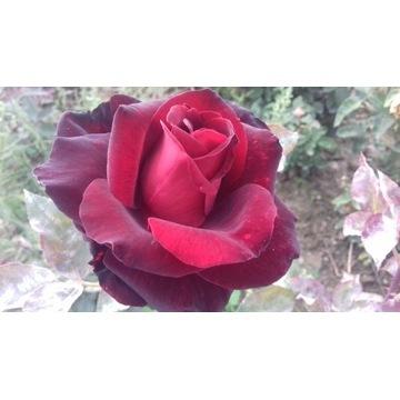 róża  bordowa   80 cm Producent!!!!
