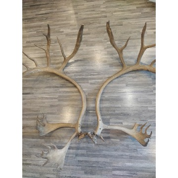 Poroże jelenia 120 cm 6 kg