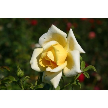 Piękna Polska Róża pnąca żółta