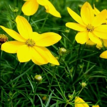 Nachyłek okółkowy Coreopsis verticillata  Sadzonki